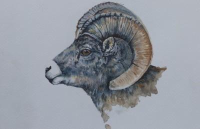 Bighorn Ram--Drawing  8 x 8