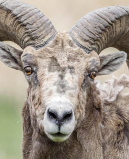 Big Horn Sheep Mating Season